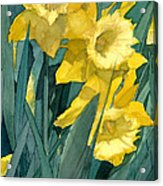 Watercolor Painting Of Blooming Yellow Daffodils Acrylic Print