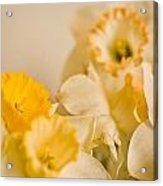 Yellow Daffodils Acrylic Print by John Holloway