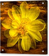 Yellow Dahlia Under Water Acrylic Print
