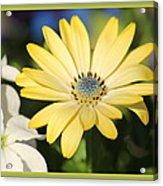Yellow Daisy With Boarder Acrylic Print