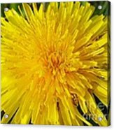 Yellow Dandelion With A Little Heart Acrylic Print