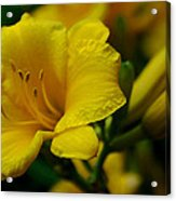 One Day Lily  Acrylic Print