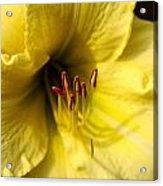 Grace Yellow Day Lily Art Acrylic Print