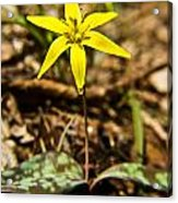 Yellow Dogtooth Trout Lilly Acrylic Print