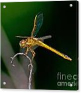 Yellow Dragonfly Acrylic Print