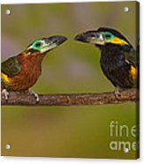 Yellow-eared Toucanet Pair Acrylic Print