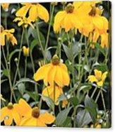 Yellow Echinacea Acrylic Print