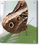 Yellow-edged Giant Owl Butterfly #3 Acrylic Print