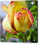 Yellow Edged In Pink Rose Acrylic Print