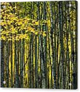 Yellow Fall Birch Leaves Against An Acrylic Print