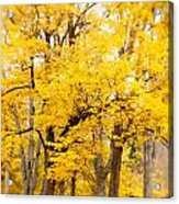 Yellow Fall Acrylic Print