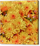 Yellow Fall Mums Acrylic Print