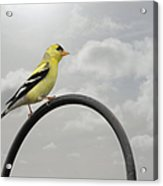 Yellow Finch A Bright Spot Of Color Acrylic Print by Christine Till