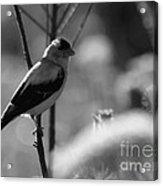 Yellow Finch B-w Acrylic Print