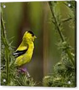 Yellow Finch  Acrylic Print