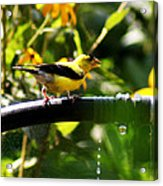 Yellow Finch With A Water Leak Acrylic Print
