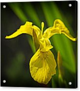 Yellow Flag Flower Outdoors Acrylic Print