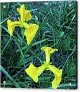 Yellow Flag Iris Acrylic Print