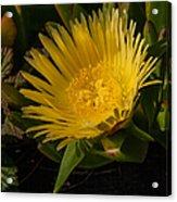 Yellow Flower 1.7103 Acrylic Print