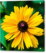 Yellow Flower - Featured 3 Acrylic Print