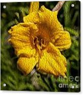Yellow Flower In Oil Acrylic Print