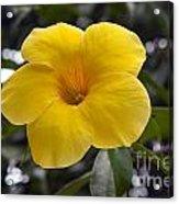 Yellow Flower Of Golden Trumpet Vine Acrylic Print