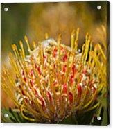 Pincushion Protea Veld Fire  Acrylic Print