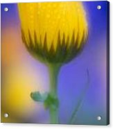 Yellow Flower With Dew Drops Acrylic Print