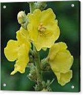 Yellow Flowers - 2 Acrylic Print