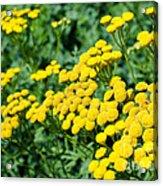 Yellow Flowers 3 Acrylic Print