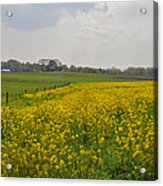 Yellow Flowers In A Field Acrylic Print