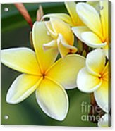 Yellow Frangipani Flowers Acrylic Print