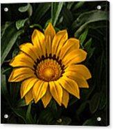 Yellow Gazania Acrylic Print