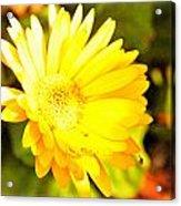 Yellow Gebera Acrylic Print