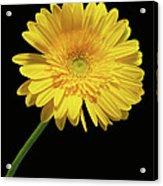 Yellow Gerber Daisy Acrylic Print