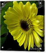 Yellow Gerbera Daisy  Acrylic Print