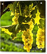 Yellow Grapes In Sunshine Acrylic Print