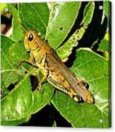 Yellow-green Grasshopper Acrylic Print