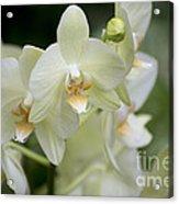 Yellow-green Phalaenopsis 8837 Acrylic Print