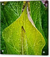 Yellow Green Skunk Cabbage Square Acrylic Print