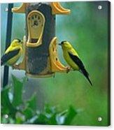 Yellow Grosbeak Duo Acrylic Print