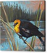 Yellow Headed Black Bird Acrylic Print