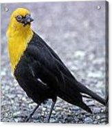 4m09157-02-yellow Headed Blackbird Acrylic Print