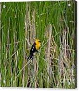 Yellow Headed Blackbird Acrylic Print