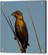 Yellow-headed Blackbird With Dragonfly Acrylic Print
