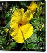 Yellow Hibiscus Hawaii State Flower Acrylic Print