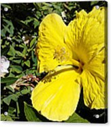 Yellow Hibiscus For Mom Acrylic Print
