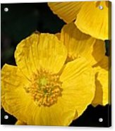 Yellow Iceland Poppy Acrylic Print