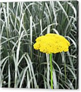 Yellow Immortelle Flower Acrylic Print