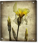 Yellow Iris - Vintage Colors Acrylic Print